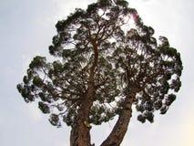 Italien Vaticanen - träd i mitt av Vaticanenuppsättningen mot den ljusa daghimlen royaltyfri bild