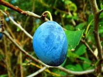 Italiener Prune Plum auf Baum Lizenzfreie Stockfotos