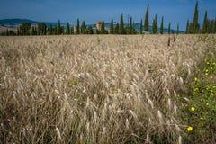 Italiener, Toskana-Landschaft von Weizen- und Zypressenbäumen Lizenzfreies Stockbild