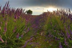 Italienische Hügel des Lavendelfeldes in der Dämmerung lizenzfreie stockfotografie
