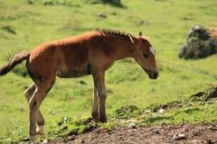Italienische inländische Pferde Lizenzfreies Stockbild