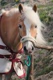 Italienische inländische Pferde Stockfotografie