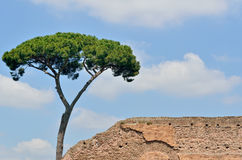 Italienische Kiefer Lizenzfreie Stockfotos