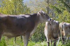 Italienische Kuh Lizenzfreie Stockfotografie