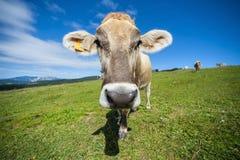 Italienische Kuh, die in einer Alpenwiese, Berge im backgr weiden lässt Lizenzfreie Stockfotografie