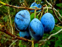 Italienische Pflaumenpflaumen auf Baum Stockbild