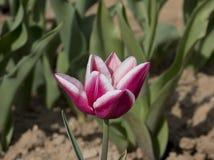 Italienische Tulpen Stockbild