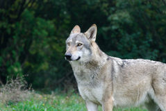 Italienische Wölfe Lizenzfreie Stockfotos