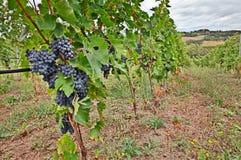 Italienische Weinberge Stockfotos