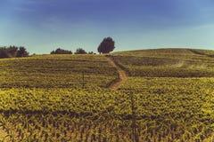 Italienische Weinberge und ein klarer Himmel Stockfotografie