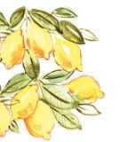 Italienische Zitrone Stockfotos