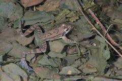 Italienischer beweglicher Frosch (Rana-latastei) im züchtenden Teich, Italien lizenzfreies stockfoto