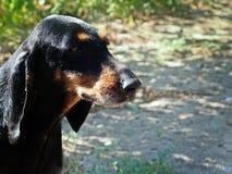 Italienischer Bluthund Stockfoto