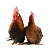 Italienischer roter Hahn und Henne Stockfotos