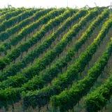 Italienischer Weinberg stockfotos