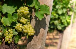 Italienischer Weinberg Stockfoto