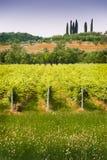 Italienischer Weinberg Stockfotografie