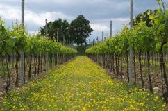 Italienischer Weinberg mit gelben Blumen stockfoto