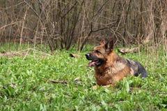 Italienischer Windhund stockfoto