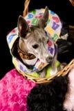 Italienischer Windhund Stockfotografie