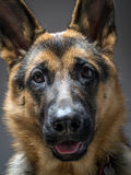 Italienischer Windhund Lizenzfreies Stockbild