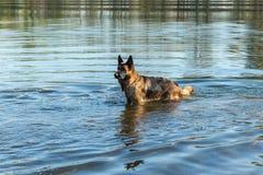 Italienischer Windhund Lizenzfreie Stockfotografie