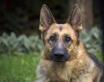 Italienischer Windhund Stockbild