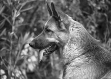 Italienischer Windhund Lizenzfreies Stockfoto