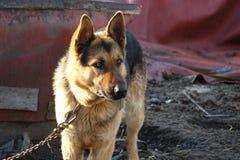 Italienischer Windhund Lizenzfreie Stockfotos