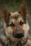 Italienischer Windhund Stockfotos