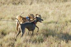Italienischer Windhund auf einem Gebiet Stockfoto