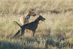 Italienischer Windhund auf einem Gebiet Stockbild