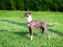 Italienischer Windhund, der im Landschaftspark spielt stockbild