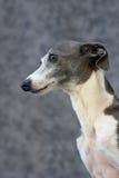 Italienischer Windhund I Stockfotos