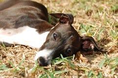 Italienischer Windhund im Gras Lizenzfreies Stockfoto