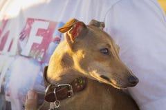 Italienischer Windhund Sonnenuntergang Porträt Stockbilder