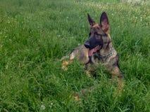 Italienischer Windhund zonenartige Farbe lizenzfreies stockfoto
