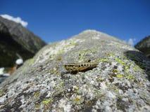 Italiensk gräshoppa Royaltyfria Foton