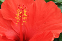 Italiensk röd blomma Royaltyfri Foto