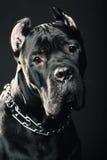 Italiensk rottingcorso för stor hund Arkivbilder