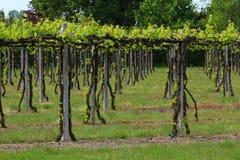 Italiensk vingård, emilia romagna, lambrusco Arkivbilder