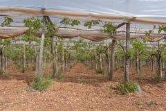 Italiensk vingård, Puglia, Apulia, vingård av tabelldruvor Arkivfoto