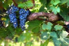 Italiensk vingård Arkivfoton