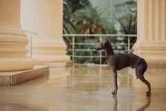 Italiensk vinthund i en klassisk byggnad med kolonner fotografering för bildbyråer