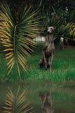 Italiensk vinthund i palmträd med floden arkivfoton