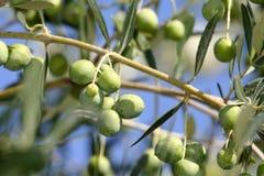 italienska olivgrön slänger treen Arkivbilder