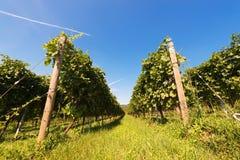 Italienska vingårdar - Valpolicella vin Fotografering för Bildbyråer