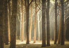 Italienskt maritimt sörjer skogen eller tallskog för träd den dimmiga Maremma Tus royaltyfri bild