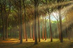 Italienskt maritimt sörjer skogen eller tallskog för träd den dimmiga Maremma Tuscany, Italien royaltyfri fotografi