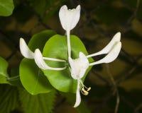 Italium Woodbine or Goat-leaf Honeysuckle, Lonicera caprifolium, flowers and buds with raindrops macro Royalty Free Stock Photo